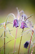 beautiful closeup violet prairie bell flowers