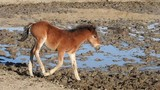 A young foal navigates the thick mud surrounding the waterhole. - 226124393