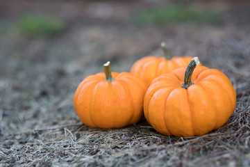 Miniature pumpkins in the field for hallowen and fall background