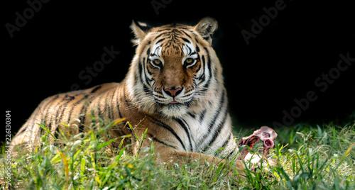 Fototapeta Beautiful bengal tiger
