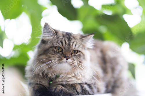 Persian Cats, Persian gray-brown cat in the garden. - 226165747