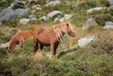 Stunning image of wild pony in Snowdonia landscape in Autumn - 226170307