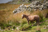 Stunning image of wild pony in Snowdonia landscape in Autumn - 226170386