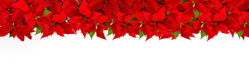 Christmas red flower poinsettia Floral border © LiliGraphie