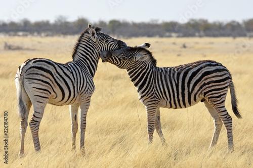 Steppenzebras (Equus quagga) im Etosha Nationalpark (Namibia) - 226184780