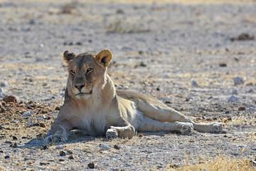 Löwin (panthera leo) am Wasserloch Gemsbokvlakte im Etosha Nationalpark (Namibia)