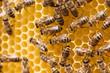 Leinwanddruck Bild - Honey bees working on honey comb
