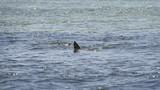 Sharks swimming in the Shark Bay, Sal