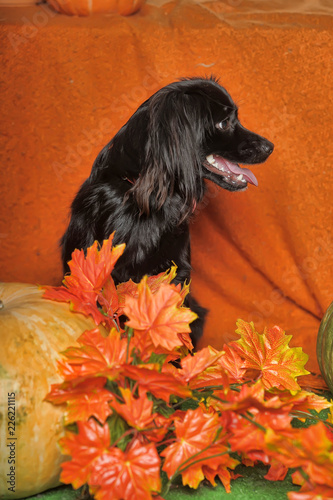 little black dog on an orange autumn background with maple leaves and pumpkin - 226221115