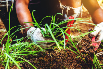 Asian man plant vegetables gardening at The backyard. Asian man dig into soil the vegetable garden. Happy with the vegetable garden. plant Allium tuberosum.