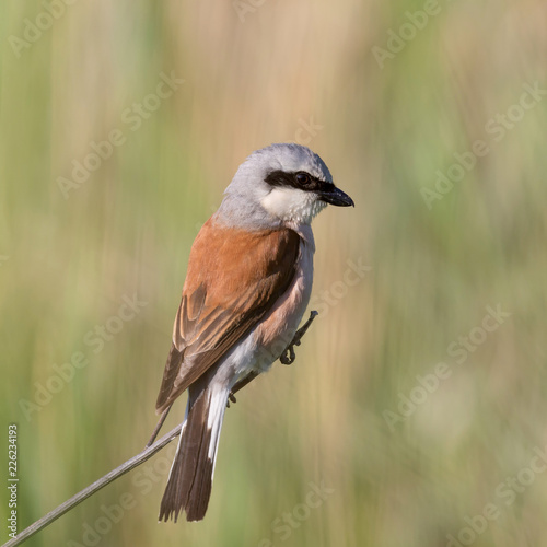 Foto Murales  red-backed shrike sitting on a reed in the wild