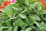 Sage medicinal herbs - 226240954