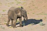 Elefant im Sand beim Fressen Krüger National Park Südafrika