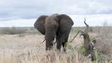 Elefant Krüger National Park Südafrika