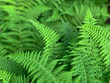 forest_fern