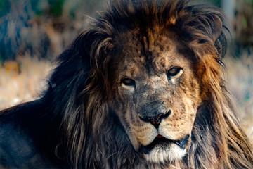 Deranged looking lion up close.