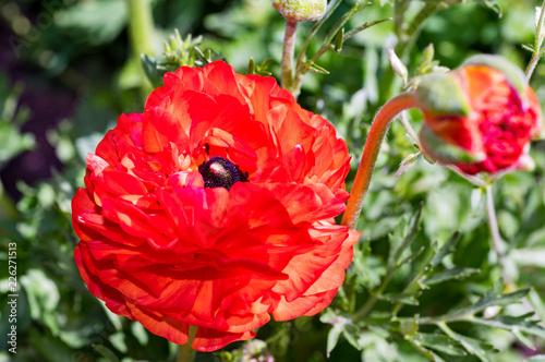 Gaudy Red Poppy - 226271513