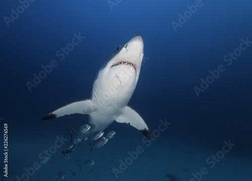 Fototapeta Great white shark swimming with a school of jack fish, Neptune Islands, South Australia.