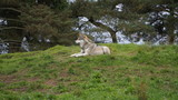 wolf in the zoo