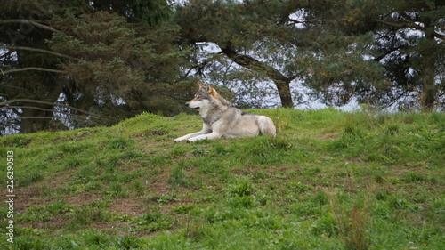 Fototapeta wolf in the zoo