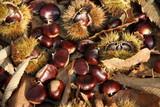 Maronen sammeln im Wald 3 - 226293997