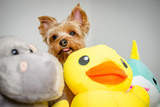 Yorkshire Terrier With His Stuffed Animal - 226299183