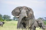 Elephant warning to keep away in Moremi, Botswana