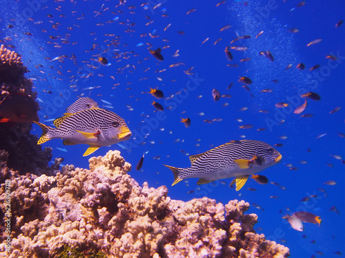Sweetlip fish on Great Barrier Reef
