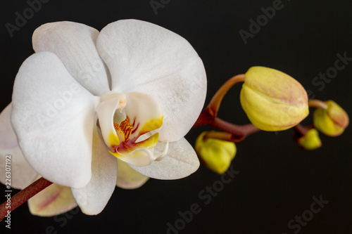 White Orchid - 226307192