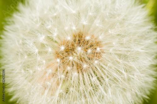 dandelion on a black background - 226312314