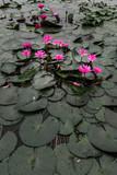 pink lotus beautiful