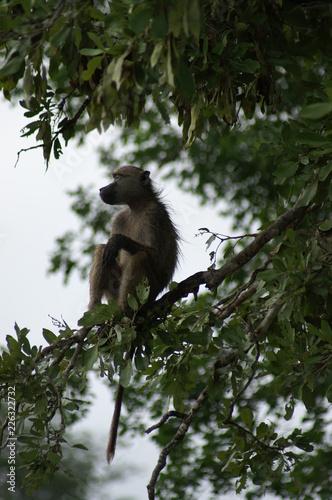 Naklejka Małpa
