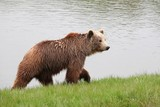 Brown bear in the nature  - 226323902
