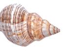 Striped Fox Horse Conch isolated on white background . Pleuroploca trapezium.