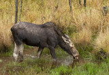 Cow moose (Alces alces) grazing in a pond in Algonquin Park, Canada in autumn