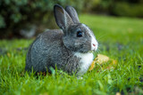cute grey bunny with white chest sitting on the green grass with grass in its mouth