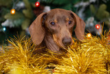 Dachshund sitting in gold tinsel with Christmas tree lights behind.