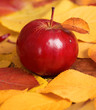 autumn harvest - one red apple is on fallen yellow leaves. Perfect background for autumn season. - 226377943