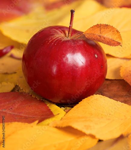 jesienne zbiory - jedno czerwone jabłko jest na opadłych żółtych liściach. Idealne tło dla jesieni.