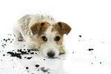 DIRTY JACK RUSSELL DOG LYING DOWN ON FLOOR AFTER PLAY IN A MUD PUDDLE ISOLATED ON WHITE BACKGROUND. STUDIO SHOT. COPY SPACE. - 226378386
