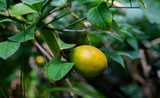 Ripening lemon
