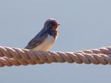 Closeup of a Barn Swallow bird sitting on a rope (latin: Hirundo rustica)