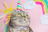 Big Scottish or British gray cat in the role of a unicorn, with a rainbow horn on a pink background, fairy tale concept - 226388755