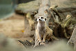 Leinwandbild Motiv meerkat is a panic animal