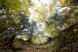 Froschperspektive im Wald, Blick von den Baumwurzeln zu den Baumkronen, Herbst - 226395590