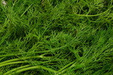 Natural background, consisting of juicy green freshly picked dill. - 226399542