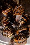 Edible snail escargot - 226405914