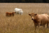 Beef Cattle Background