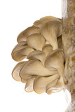 Oyster mushrooms - Pleurotus ostreatus growing on a sack with straw - isolated on a white background - 226417596