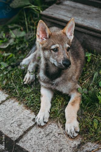 Fototapeta little wolf